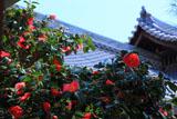 妙蓮寺 中庭の椿
