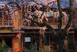 祇園白川のシダレザクラ