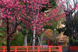 車折神社 寒緋桜