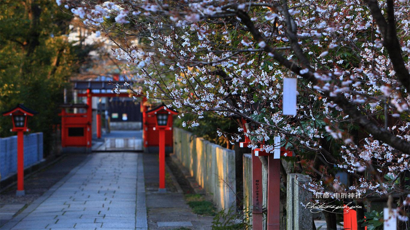 車折神社 表参道の桜 壁紙