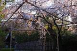 車折神社 溪仙桜と社務所