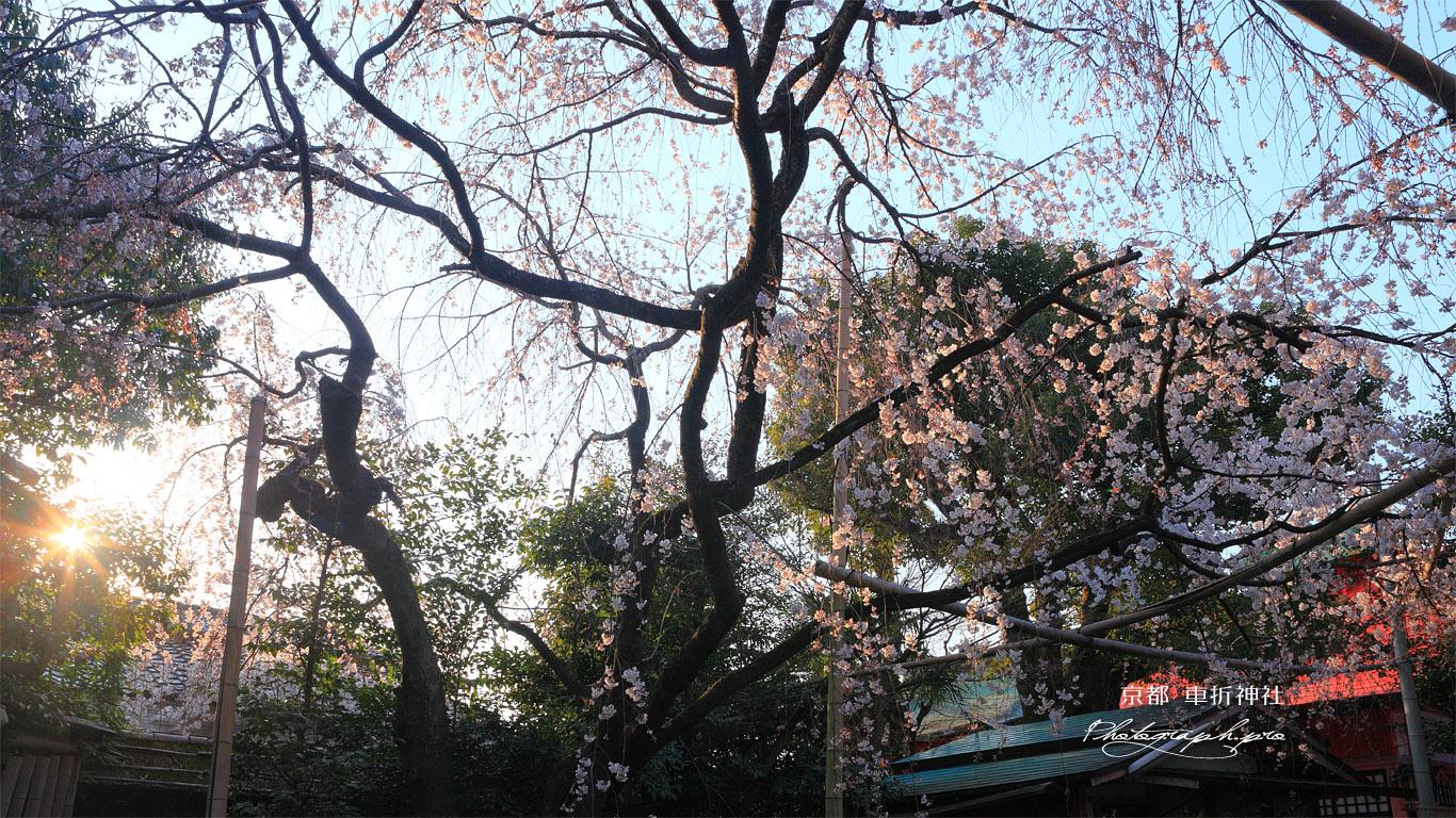 車折神社 朝陽と溪仙桜 壁紙