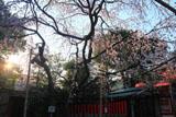 車折神社 朝陽と溪仙桜