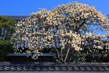 妙覚寺 善明院のハクモクレン