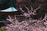 京都法輪寺 ヒガンザクラと多宝塔