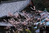 京都法輪寺 ウメと本堂