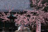 京都法輪寺 ヒガンザクラと狛虎