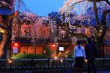 祇園白川 夜桜とカップル