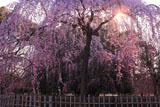 京都御苑の出水の糸桜