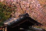 京都岩屋寺 山門とシダレザクラ