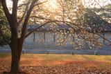 京都御苑のハクモクレン