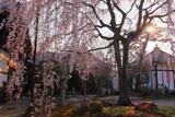 本満寺 朝陽浴びる枝垂桜