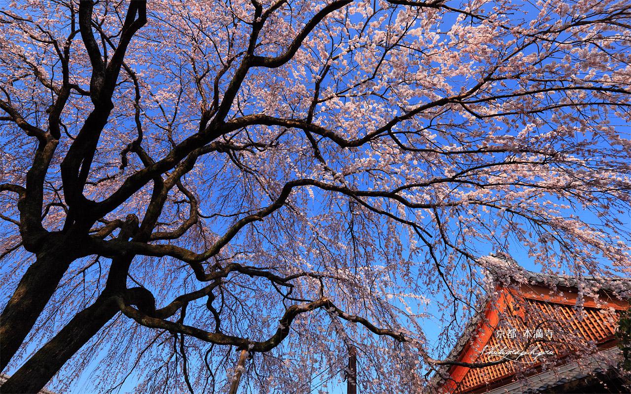本満寺 シダレザクラと庫裏 壁紙