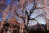 本満寺のしだれ桜