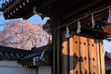 本満寺 山門と枝垂れ桜