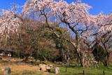 京都岩屋寺 大石良雄閑居址の枝垂桜