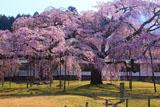 醍醐寺 朝の霊宝館の枝垂れ桜