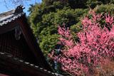 醍醐寺の桃