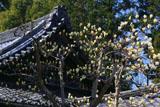 醍醐寺の白木蓮