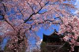 知恩院友禅苑 しだれ桜と三門