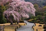 知恩院友禅苑 鹿野苑の枝垂桜