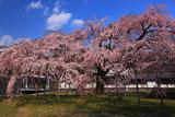 醍醐寺 白昼の霊宝館の枝垂れ桜