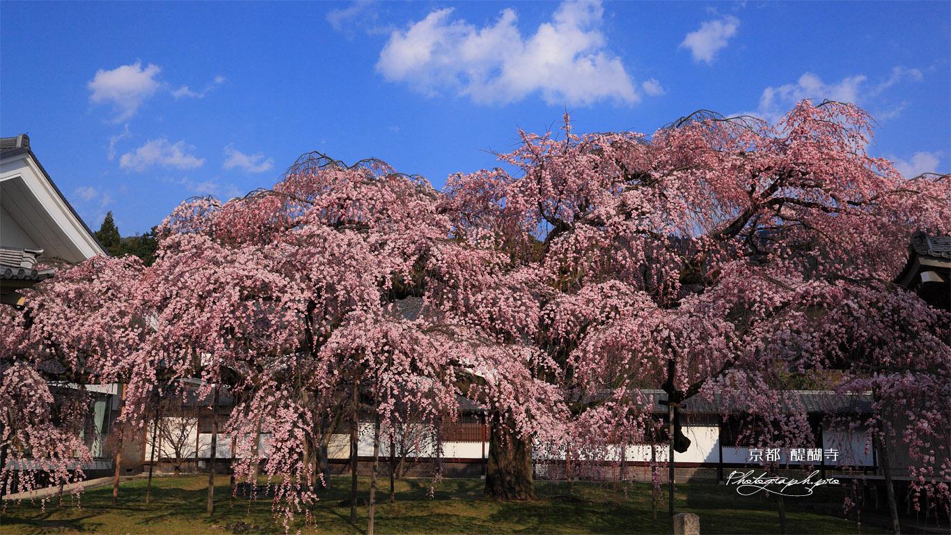 醍醐寺 昼下がりの霊宝館の枝垂れ桜 壁紙