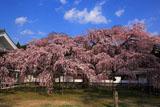 醍醐寺 昼下がりの霊宝館の枝垂れ桜