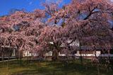 醍醐寺 午後の霊宝館の枝垂れ桜