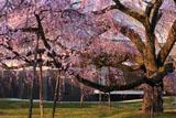 醍醐寺 夕方の霊宝館の枝垂れ桜