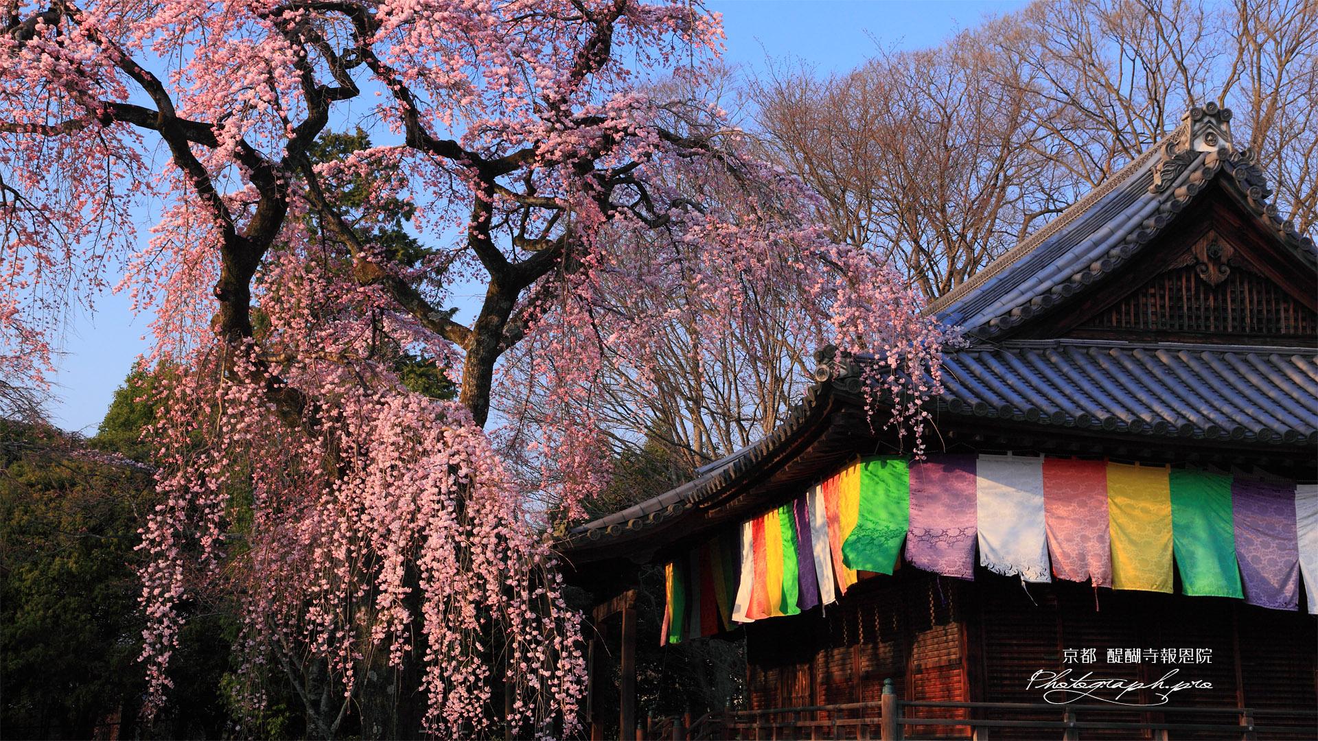 醍醐寺 報恩院の枝垂れ桜