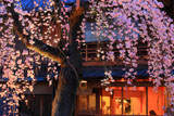 祇園白川 枝垂桜越しの料亭