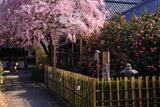 京都椿寺 紅枝垂桜と散椿