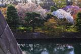 二条城 天守台と桜咲く内濠