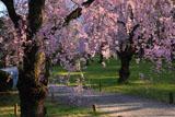 二条城の八重紅枝垂桜