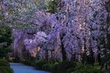 二条城のしだれ桜