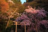 日向大神宮 紅枝垂桜と神田稲荷社