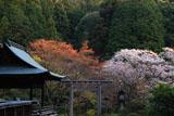 日向大神宮 伊勢鳥居と桜