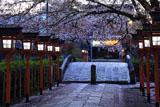六孫王神社 桜と参道の燈籠灯り