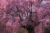 上賀茂神社 朝の斎王桜