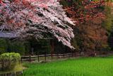 大田神社 大田の沢の桜