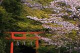 大田神社 桜と鳥居