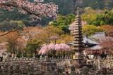 化野念仏寺 桜咲き誇る境内