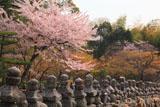 化野念仏寺 五輪塔列と山桜