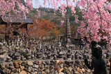 化野念仏寺 紅枝垂桜と西院の河原