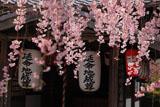 化野念仏寺 紅枝垂桜と延命地蔵堂