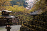 愛宕念仏寺の桜と萌える木々