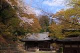 桜咲く愛宕念仏寺本堂と観音堂
