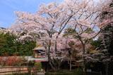 北嵯峨の桜