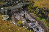 檀林寺 瓢箪池の花筏